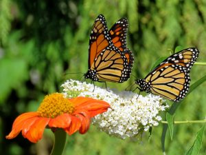 monarch butterflies on white and orange flowers