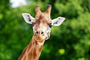 giraffe face in front of bright greenery